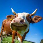 Коровы и Приключения